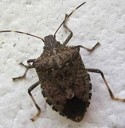 Cimice asiatica on line alcuni consigli utili comune di for Cimice insetto